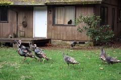 Cat watching wild turkeys (Polychrome Pictures) Tags: wildturkeys cat