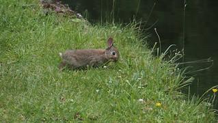 Young wild rabbit