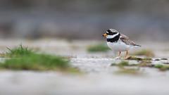 Ringed plover (pstani) Tags: charadriushiaticula gutcher scotland shetland uk yell bird plover ringedplover wader