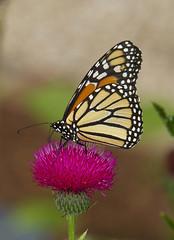 Monarch, female (Danaus plexippus) (AllHarts) Tags: femalemonarchdanausplexippus dixongardens memphistn naturescarousel ngc butterflygallery