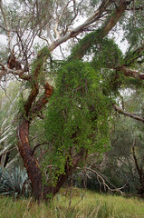 Dolichandra inguis-cati, Forrestfield, Perth, WA, 21/05/17 (Russell Cumming) Tags: plant weed dolichandra dolichandrainguiscati bignoniaceae forrestfield perth westernaustralia