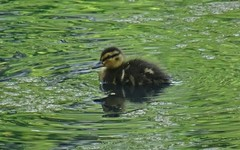 Floater (Bricheno) Tags: renfrew bricheno mallard mallards duck ducks ducklings pond park robertsonpark scotland escocia schottland écosse scozia escòcia szkocja scoția 蘇格蘭 स्कॉटलैंड σκωτία