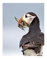 Puffin (wayne24185071) Tags: farne islands innerfarne puffin wild sandeels beak beakful billyshiels northumberland wildlife