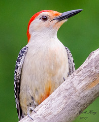 Red Bellied Portait #2 (dbking2162) Tags: birds bird nature wildlife nationalgeographic indiana woodpecker red green perched outside outdoor
