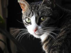 Callie (iamlewolf) Tags: cat kitty pretty eyes intense gaze stare tabby whiskers beautiful