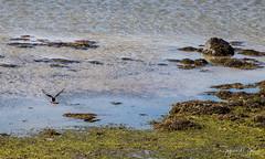 IMG_7839 (Islandsmjoll.is) Tags: breiðavík fókus fókusferð1214mai2017 garðar iceland island kollavík látrabjarg patreksfjörður patró rauðisandur reiðskörðábárðaströnd vesturland beautiful dásamlegt fallegt landskape landslag lighthouse skeljar vestfirðið viti wwwislandmjollis