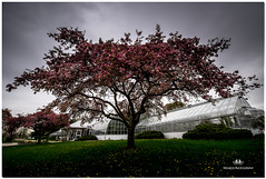"""MAY 2017 NM1_3929_159-4-22 (Nick and Karen Munroe) Tags: greenhouse greenhouses crabappletrees crabappletree blossoms blossoms"""" centenialpark centennialpark nikon nickmunroe nickandkarenmunroe nature nickandkaren nikond750 munroedesignsphotography munroedesigns munroephotography munroe karenick23 karenick karenandnickmunroe karenmunroe karenandnick munroedesignsphotographynikon2470f28 canada clouds colour color colors cloudy cloud trees tree ontario outdoors weather toronto nikon1424f28"""