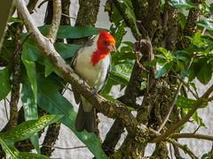 Our Hawaiian friend (Lena and Igor) Tags: travel us usa unitedstates hawaii kauai bird panasonic dmc zs50 pointandshoot nature outdoor leafs tree