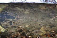 High Density Stickleback (Fish as art) Tags: underwaterphotographypaulvecsei greatslavelake nikonwideangle northwestterritories yellowknife yellowknifebay canadianfishes alaskasticklebacks nature north ninespinestickleback biodiversity unterwasserfotografie canada