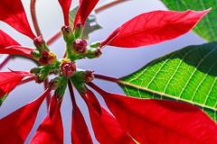 Poinsettia 1 (garry_dav) Tags: macromondays poisonous matchpointwinner mpt555