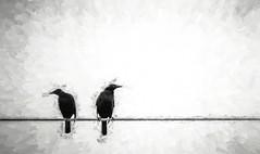 Same view, different directions (FotoGrazio) Tags: waynegrazio waynesgrazio animal bird blackandwhite checkingthingsout composition contrast different disagree feathers fineart fotograzio leftandright nature opposite painterly photoeffect photomanipulation phototoart phototopainting texture thespacebetweenus wildlife