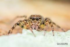 Jumping spider (cf. Spartaeus sp.) - DSC_5964 (nickybay) Tags: singapore venusdrive macro salticidae jumping spider spartaeus