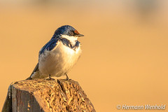 White-throated Swallow (myphotos6503) Tags: whitethroated swallow witkeelswael r520