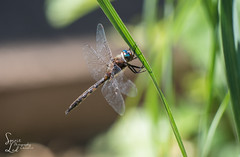 Up Close Blue-eyed Darner (1 of 1) (amndcook - always running behind :0)) Tags: blueeyeddarner dragonfly green may michigan outdoors blue bokeh flower insect macro nature outside plant spiderwort spiritledphotography spring wildlife onlythebestofnature