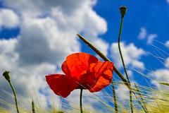Mohn im Kornfeld (hermelin52) Tags: deutschland germany nrw ruhrgebiet essen stadtessen überruhr essenüberruhr sommer kornfeld himmel mohn blüte wildpflanze pflanze flora
