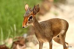 Guenther's Dik-dik (markus lilje) Tags: antelope dikdik mammal animal guenthersdikdik günthersdikdik madoquaguentheri markuslilje nature