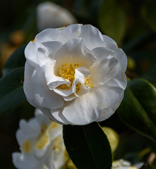 Lovely and White (Jocey K) Tags: southisland newzealand nikond750 christchurch monavale flowers camellia
