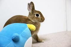 Ichigo san 738 (Ichigo Miyama) Tags: いちごさん。うさぎ ichigo san rabbit うさぎ netherlanddwarfbunny netherlanddwarf brown ネザーランドドワーフ ペット いちご
