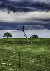 The Tree (Sonia Argenio Photography) Tags: bysoniaa fbsoniaargenio farm flickrbysoniaa outdoors soniaargenio soniaargeniogallery soniaargeniophotography approachingstorm bahia barbedwire clouds cloudy distantclouds distanttrees farmfield farmland fence fencepost field grass grazingland helpme lonelytree noclimbfence oaks pasture sky timothy dunnellon florida unitedstates us
