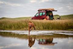 Throw back to when we went camping in Wexford last summer. I can't wait to go again this year. #throwbackthursday • • • • • #campingwithdogs #hikingwithdogs #dogsonadventures #dogsthathike #adventuredog #thestatelyhound #houndandlife #backcountrypaws #dog (watson_the_adventure_dog) Tags: throw back when we went camping wexford last summer i cant wait go again this year throwbackthursday • campingwithdogs hikingwithdogs dogsonadventures dogsthathike adventuredog thestatelyhound houndandlife backcountrypaws doglove hikingdogsofinstagram excellentdogs adventureswithdogs topdogphoto heelergram hikingdog animaladdicts traildog citroen bestwoof hikingcollective pawsitiveliving wanderireland instaireland inspireland irishpassion irelandgram campingculture hikingtheglobe