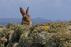 Lapin mal en point (jf.cudennec) Tags: nature island bretagne finistère lapin rabbit lighthouse