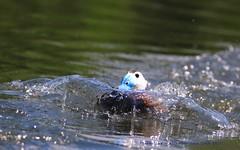 Riding The Waves..... (law_keven) Tags: ducks duck whiteheadedduck birds bird wetlands wetlandcentre londonwetlandcentre london barnes england uk wildlife wildlifephotography photography