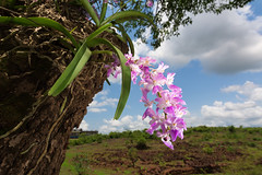 The cat puffs its tail when the rain clouds loom! (soumabrata.m) Tags: aeridesmaculosa aerides foxbrushorchid catstailorchid orchid tropical ultrawide sigma1020mmf35 ©soumabratamoulick nikond7100 maharashtra india flower blooming habitat endemic monsoon blueskies clouds greenery roots arboreal harbinger naturephotography landscape chiplun flash colors