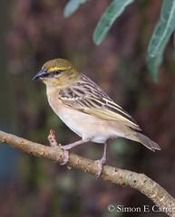 Northern Masked-weaver (Simon E Carter) Tags: baringo kenya birds