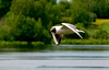 (j-ew) Tags: seagull østensjøvannet hettemåke