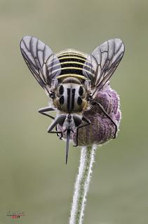 Bombilido abejoide (Parageron Loewi)