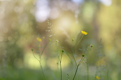 Buttercup Meadow.. (KissThePixel) Tags: buttercup buttercupmeadow meadow wildflower wildflowers sunlight sunshine light bokeh softbokeh macro macromonday nikon nikondf aperture 14 f14 delicate summer summerdays summerlight summermeadow happy gold yellow yellowflower