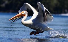 2017-06 Stephen Payne-76.jpg (Stephen_Payne) Tags: birds pelicans lakeofthewoods oregon othertags places lakes