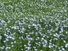 Linum (flax) (wallygrom) Tags: england westsussex eastpreston kingstongorse kingstonlane linum flax flaxseed