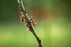 Ant at work (mariokopatz) Tags: ant ameise makro macro reversering reverseadapt tessar50 tessar 50mmf28 50 28