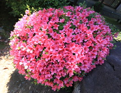 Azalea / Rhododendron / 躑躅(ツツジ) (TANAKA Juuyoh (田中十洋)) Tags: 5d markii hi high res hires resolution 高精細 高画質 shizuoka atami 静岡 熱海 しずおか あたみ azalea rhododendron 躑躅 ツツジ pink ピンク 桃色 ももいろ