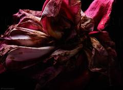 When lonlyness is burning down your soul (thierry.ysebaert) Tags: decaying roses decayingroses roseindecay rosesindecay rubens decadencia rosa decadenciadela outdoors thierryysebaert ysebaertthierry beautifuldecay decay vanitasstilleven vanitasstillife vanitas deterioration flowerindecay provincieantwerpen artphotoofdecayingroses dyingroses exquisitedecay fleurmorte fleur artistiekerozenfotografie nikon 105mm nikonshot rozenfotografie artisticrosephoto artistic artphoto decayedflower rosecapture roseshot clairobscur decayedrose rosephotography rosephoto fotovaneenroos drama déclin rosesendéclin redrose red roderoos rood roos stervenderoos
