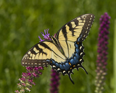 Eastern Tiger Swallowtail, female (Papilio glaucus) (AllHarts) Tags: femaleeasterntigerswallowtailpapilioglaucus spac hollyspringsms naturescarousel butterflygallery ngc npc challengeclubchampions