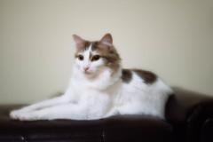 Jo Jo (Garen M.) Tags: 365project buttercup testshots dog lensbabyvelvet cats susanhome nikond800 jerry jojo
