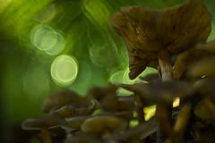 bubbles cascade (gnarlydog) Tags: fujinon55mmf22 closeup rainforest backlit mushroom fungi contrejour adaptedlens manualfocus vintagelenseffect bokeh bubbles surreal shallowdepthoffield softfocus green
