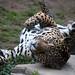 Jaguar Rolling Around