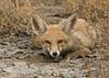White-footed Fox (stuartreeds) Tags: whitefootedfox redfox desertfox fox littlerannofkutch wildasssanctuary india gujarat animal greatphotographers greaterphotographers greatestphotographers