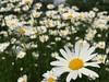 Margeriten (Blende2,8) Tags: blüten streuobstwiesen reutlingen wiese rommelsbach margeriten
