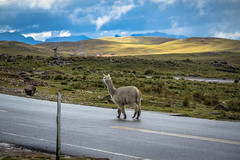 An alpaca traffic jam in Peru.