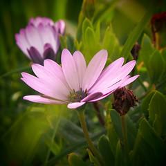 Rosa e Verde / Pink and green (Francisco (PortoPortugal)) Tags: 1212017 20160319fpbo2749 flores flowers pink green portografiaassociaçãofotográficadoporto franciscooliveira