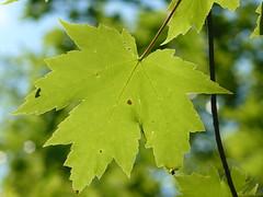 Acer saccharinum (tammoreichgelt) Tags: acer sapindaceae maple silver creek silverleaf soft white swamp minnewaska