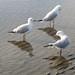 Sea Gulls  at Sandgate (2)