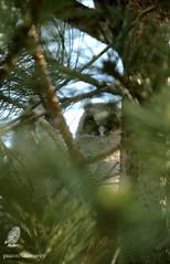 Réussite de la couvée / Success of brood (pm100%nature19) Tags: corrèze limousin hibouxmoyensducs oiseaux strigidés 19 strigiforme