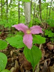 Pink Trillium (deanspic) Tags: trillium riverdaleforest riverdale g1x macro