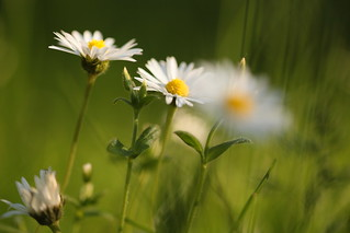 Daisy of the day