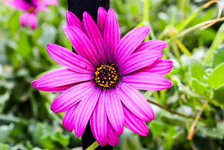 Flower Petal Fragility Nature Pink Color Flower Head Pollen Beauty In Nature No People Focus On Foreground Day Growth Outdoors Plant Animals In The Wild One Animal Freshness Close-up Eastern Purple Coneflower Osteospermum